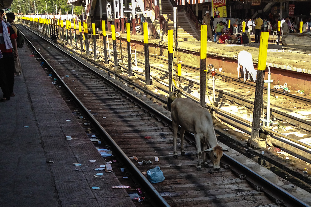 Cow on Tracks