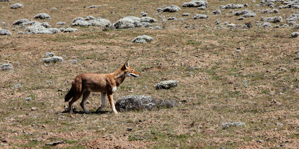 Ethiopian red wolf